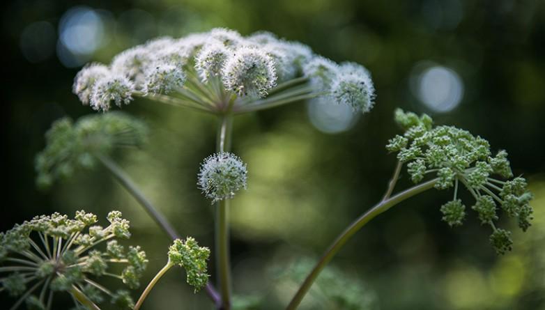 Здоровье и красота: От ядовитого растения пострадало уже пятеро детей