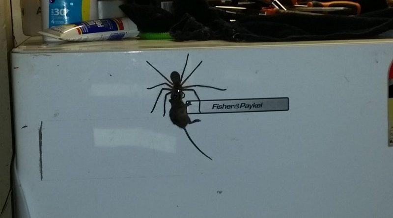 паук тащит мышь