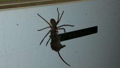 паук убил мышь