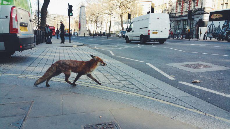 Общество: Жители Лондона выступили против массового отстрела городских лис