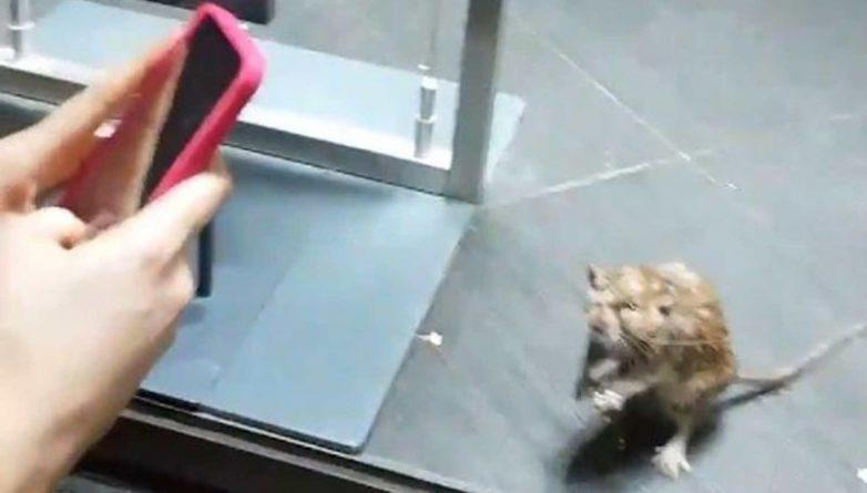 Общество: Гигантская крыса бегала за витриной в Primark