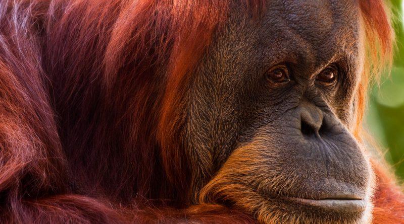 Мнение: Крики орангутанов: Как зарождался язык людей