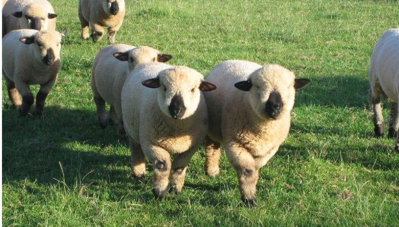 Досуг: В Лондоне может появиться овечье кафе