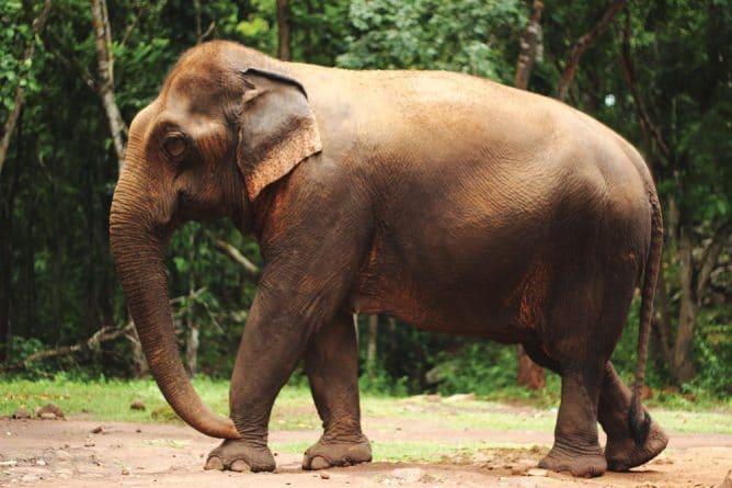 Юмор: Нетерпеливый слон нарушил ПДД в Индии