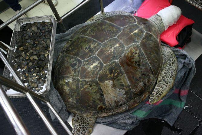 """В мире: Из желудка морской черепахи извлекли 915 монет и прозвали """"Банком"""""""