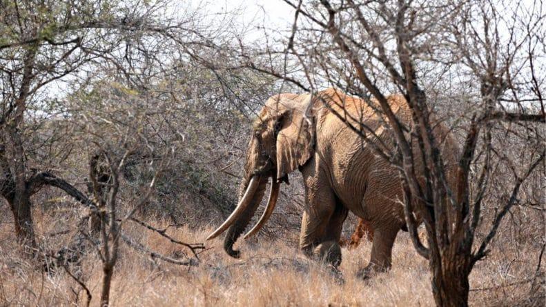 В мире: Один из старейших слонов в Африке убит браконьерами