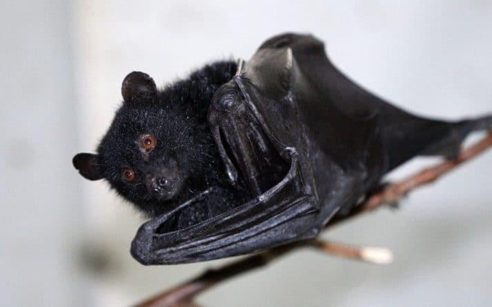 Здоровье и красота: В ДНК летучих мышей найден доисторический вирус рака крови