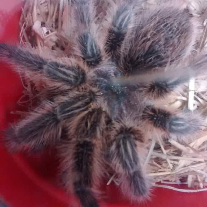 На заднем дворе одного из британских домов найден огромный тарантул