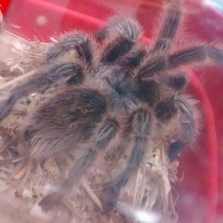 Досуг: На заднем дворе одного из британских домов найден огромный тарантул