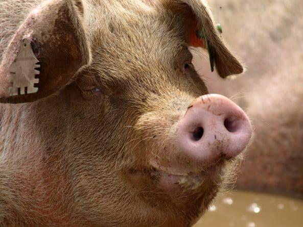 Юмор: Сбежавшая из машины свинья заблокировала трассу