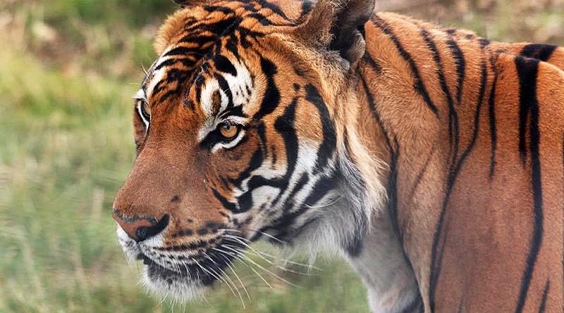 Происшествия: Сотрудницу зоопарка в Кембриджшире убил тигр