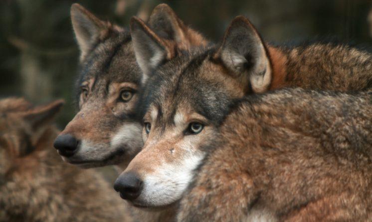 Популярное: Учёные: у волков и собак врожденное чувство справедливости