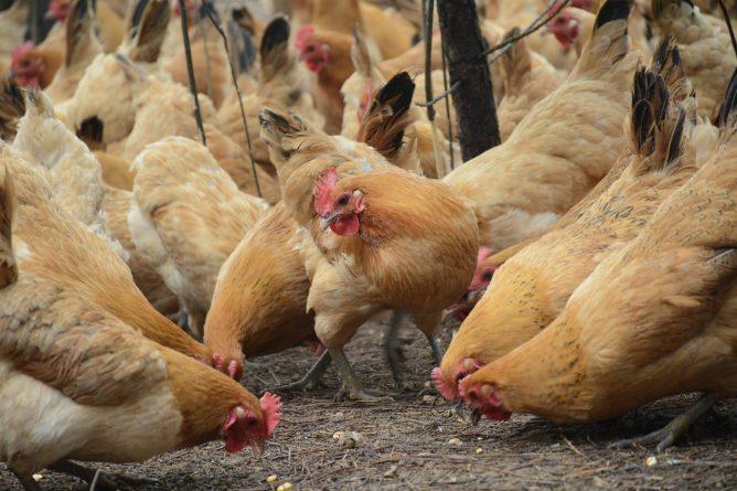 Здоровье и красота: В Норфолке вспыхнула эпидемия птичьего гриппа