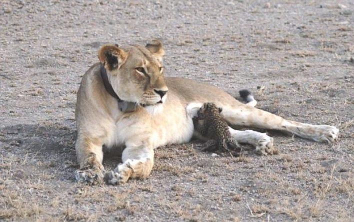 В мире: Львица усыновила детеныша леопарда