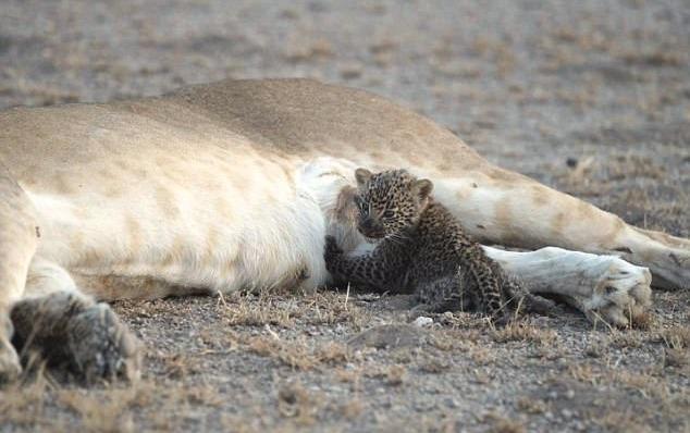 Львица усыновила детеныша леопарда