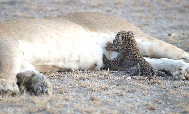 Львица усыновила детеныша леопарда рис 3
