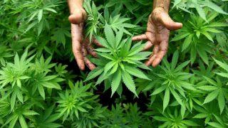 В Уругвае легализировали марихуану