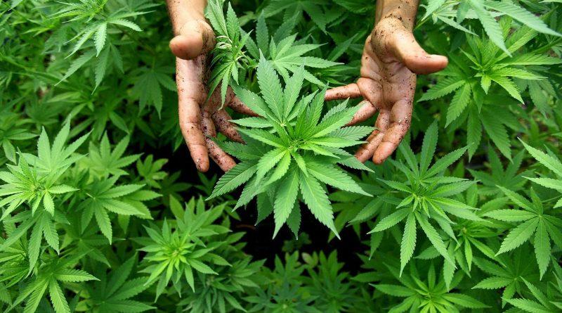 В мире: В Уругвае легализировали марихуану