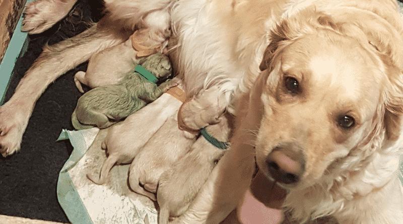 Общество: У золотистого ретривера родился зеленый щенок