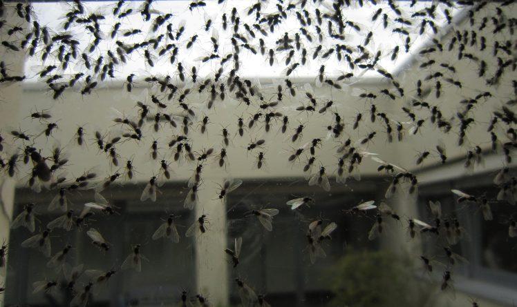Общество: В Британии началось ежегодное нашествие летающих муравьев