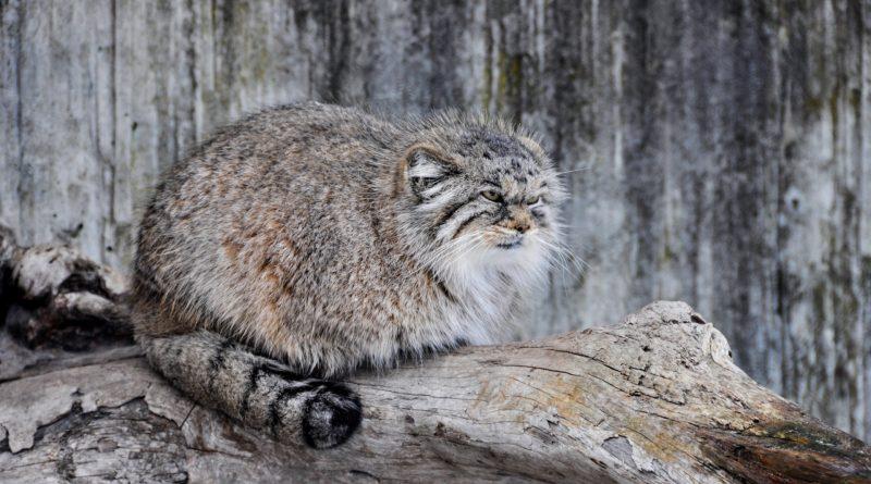 Популярное: В России кот манул загрыз троих грабителей
