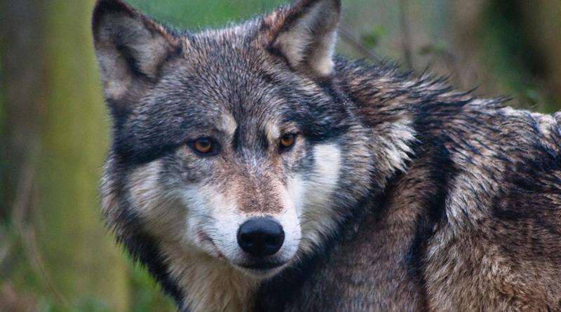Общество: Волки, рыси и медведи вернутся в британские леса