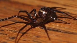 Школьника из Девона укусил опасный паук