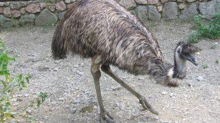 В Эссексе видели... страуса эму