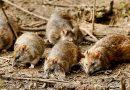 Линкольншир: старый дом кишит крысами. Люди бьют тревогу