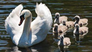 Лондон: изверги закололи и обезглавили шесть беззащитных лебедей