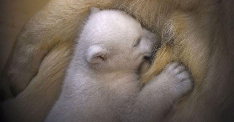 Популярное: Впервые за 25 лет в Великобритании родился белый медвежонок