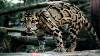 Домашний леопард сбежал от хозяина и охотился на овец в Корнуолле