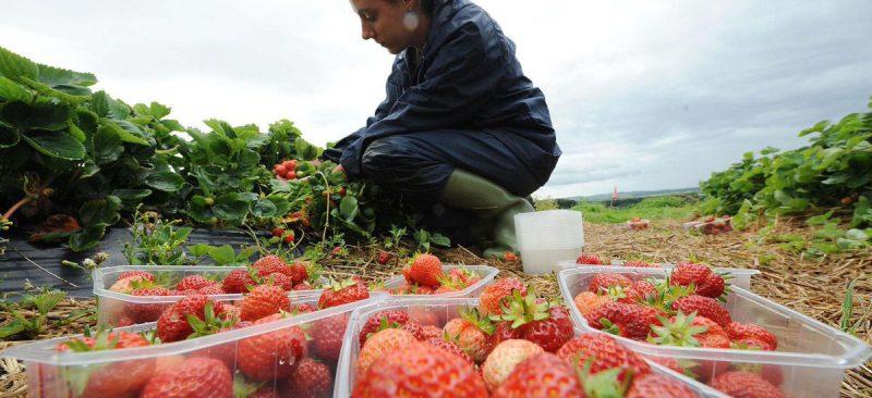 Бизнес и финансы: Brexit в действии: британским фермерам остро не хватает сезонных рабочих