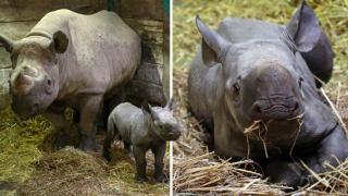 Видео: в Великобритании родился редкий черный носорог