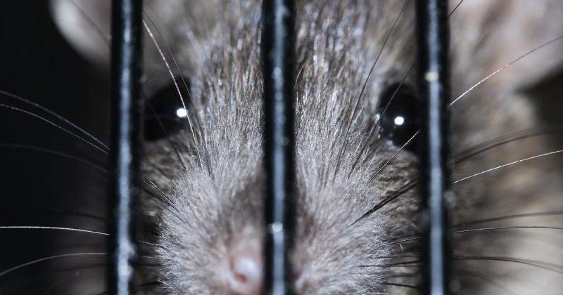 Общество: Женщина купила в Aldi упаковку слив, в которой нашла живую крысу