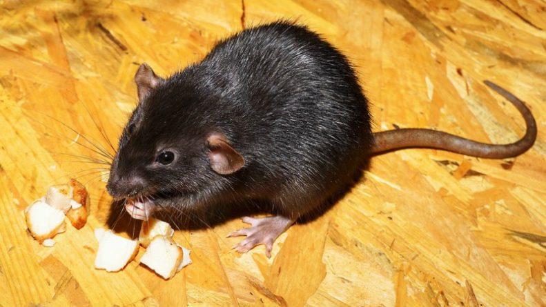 Популярное: Невосприимчивые к ядам суперкрысы могут принести в Великобританию чуму
