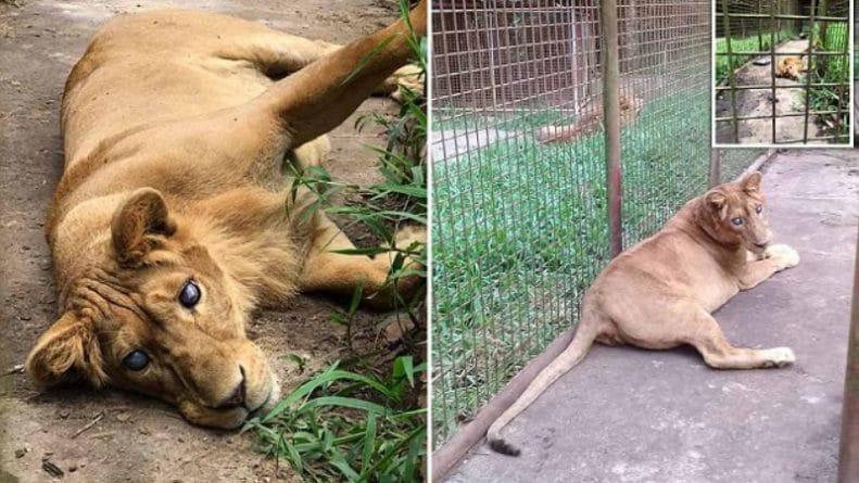 """Популярное: В зоопарке слепую от рождения львицу считают """"ошибкой природы"""", поэтому удерживают в тесной грязной клетке"""