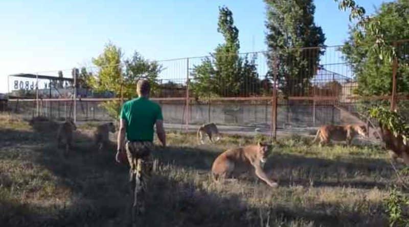 """Видео: Видео, как смотритель зоопарка использовал свой """"волшебный тапок"""", чтобы разнять драку львов"""