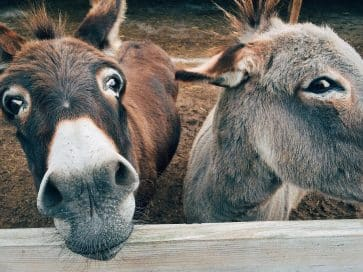 два осла