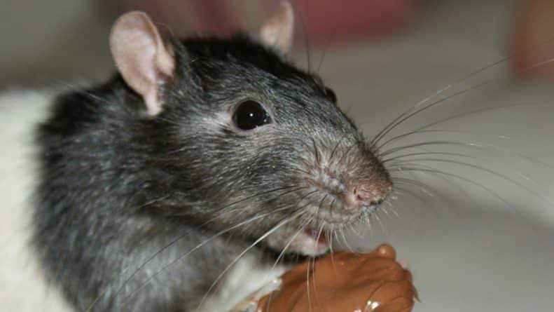 Общество: Продовольственный склад в Ковентри оштрафовали на £20 тыс. из-за огромного нашествия крыс