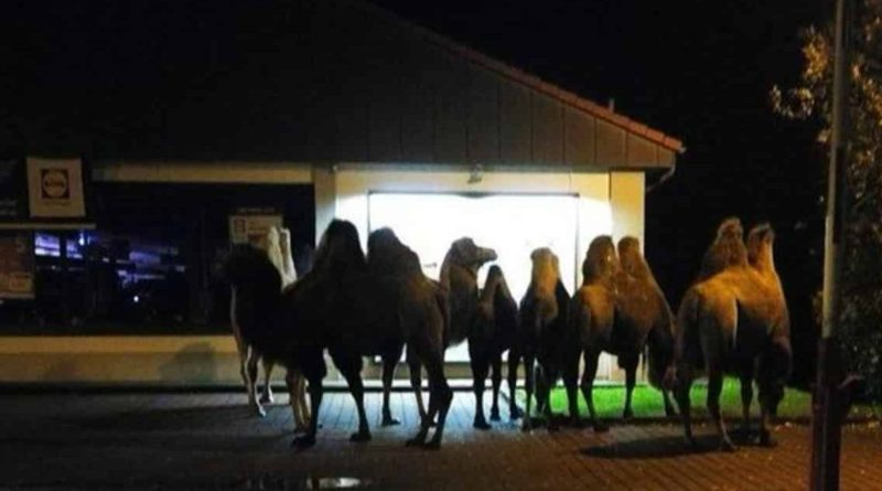 Юмор: Возле супермаркета Lidl выстроилась очередь из семи верблюдов