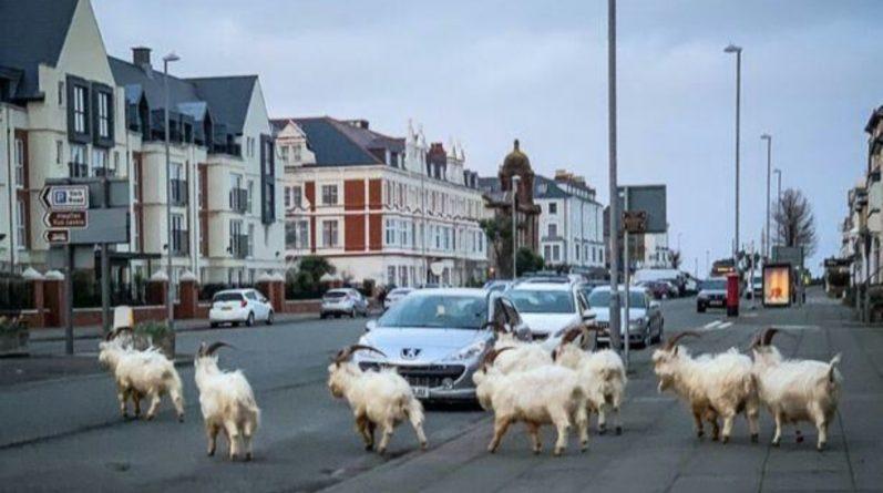 Погода: Шторм Гарет вынудил диких горных козлов спуститься в город