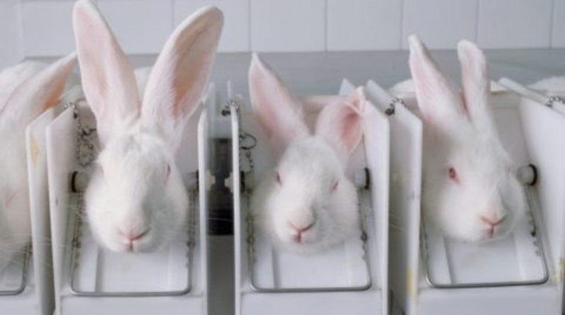 Популярное: Кроликов умышленно инфицируют холерой в университетах Великобритании