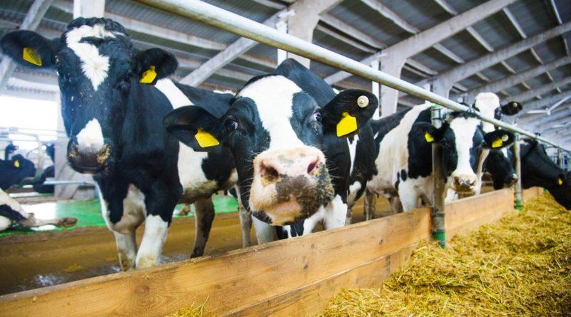 Общество: В Великобритании сеть 5G тестируют на коровах