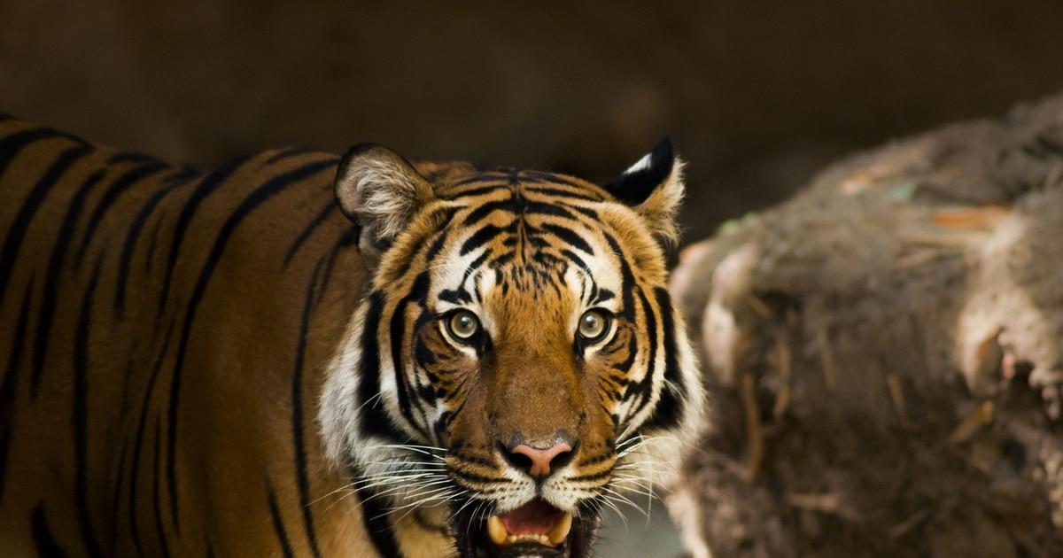 Новости дня - Происшествия: В Индонезии тигр оторвал голову работнику плантации. Новости дня Россия - DaylyNews.ru