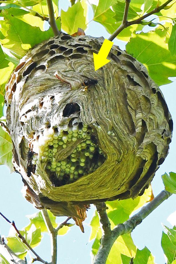 0_Radio-tagged-Asian-hornets.jpg