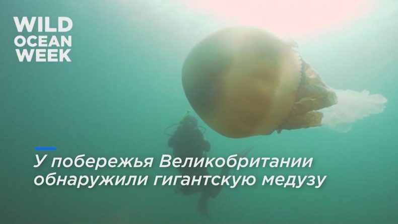 Общество: В Великобритании обнаружили медузу размером с человека