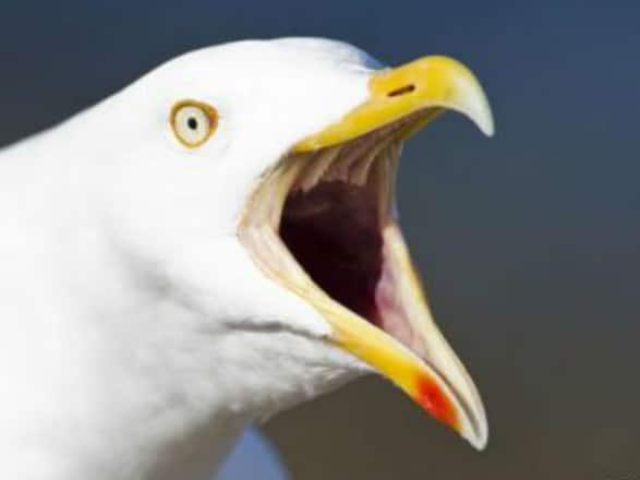 Общество: В Британии чайка похитила чихуахуа  22 июля 2019, 03:52