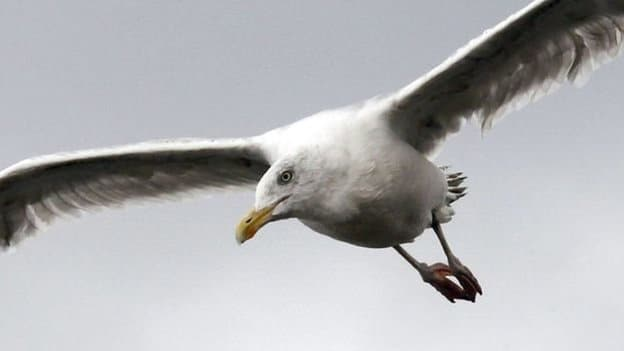 Общество: ВБритании морская чайка украла чихуахуа