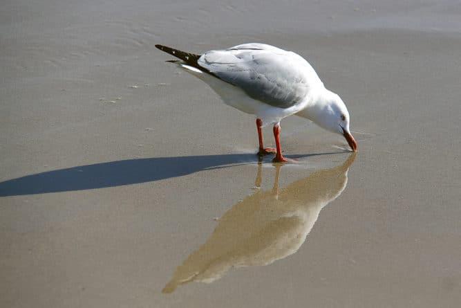 Общество: Ученые нашли в австралийских чайках устойчивые к антибиотикам бактерии